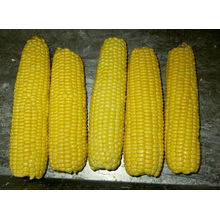 High Quality IQF Frozen sweet corn cob