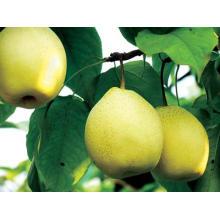 Export New Crop Frische Gute Qualität Ya Birne