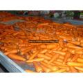 2016 Зимний урожай свежей моркови