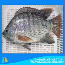 our main exporting product is frozen fresh whole round tilapia