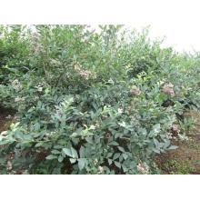 Congelamento rápido individual Organic Blueberry Zl-1048