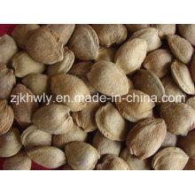 Amêndoa doce em Shell (longwangmao 22mm UP)