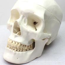 Modelo médico da anatomia do crânio SKULL03 (12329) para uma comunicação paciente
