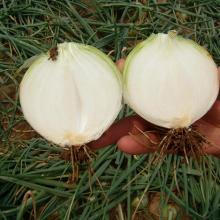 Wholesale Good Quality Fresh Onions