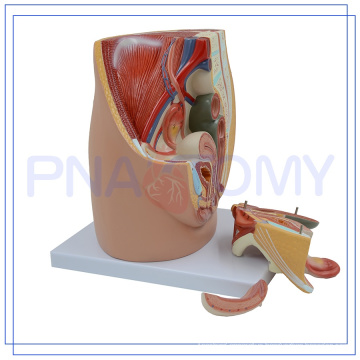 PNT-0580 life size female pelvis model