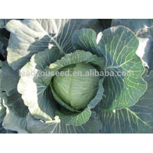 NC05 Lianna round cabbage seeds guangzhou different types of seeds manufactory