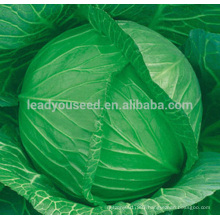AC041 Maoji 60 days maturity heat resistant cabbage hybrid seeds