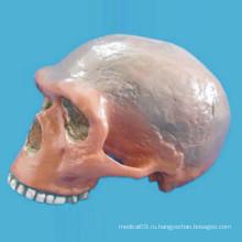 Запугивание Шарлотта Эрни Череп Медицинская анатомическая скелетная модель