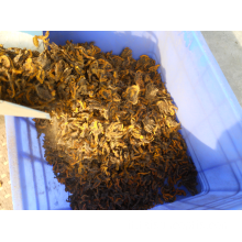 software cosmetico root canker Coptis