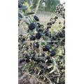100% сырая и дикая черная ягода goji
