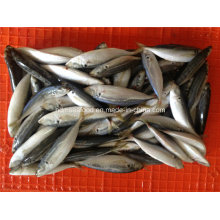 Bqf Small Size Horse Mackerel Fish