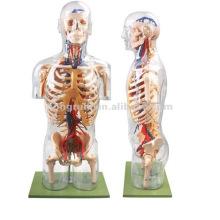 Modelo humano transparente del cuerpo de la anatomía con los órganos internos, cuerpo transparente del modelo