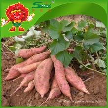 Fornecedor de batata barato na China Nova colheita batata doce melhor qualidade de legumes