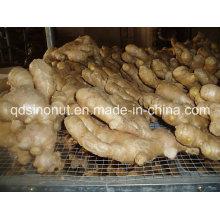 Hot Sales Preço mais barato Fresh Ginger