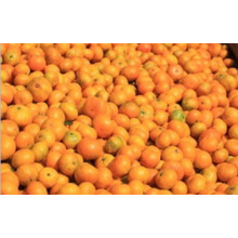 Samll Orange for Southeast Asia Market