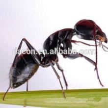 черный муравей экстракт порошок 10:1