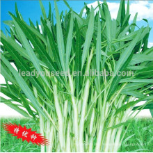 WS02 Guanglian white peduncle water spinach seeds for planting