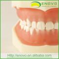Modelo dental dental removível macio dos dentes EN-L1 para a cabeça fantasma