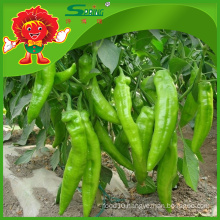 Fresh big green hot chilli