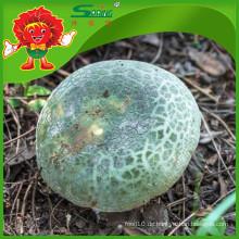 Qingtou Bakterien selten Essbare Pilze Wildpilz grüner Pilz