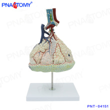 PNT-04151 modelo de cuerpo humano Magnified Pulmonary Alveoli Model