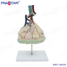 Modelo de corpo humano PNT-04151 ampliado modelo de alvéolos pulmonares