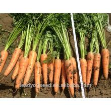 CA03 Hongguan à maturité chinoise hybride graines de carotte pour la plantation