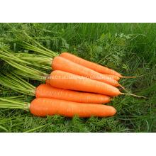 Tamanho L cenoura fresca