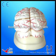 High quality medical anatomical model of human brain and brain artery Human Brain Model