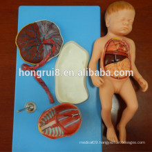 ISO Realistic Fetus model with Viscus and Placenta, Anatomical Model of baby