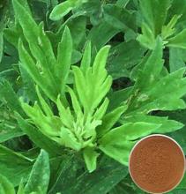 Aiye Leaf Extract /Folium Artemisiae Argyi P.E/argy Wormwood Leaf Extract