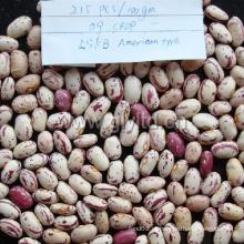 Feijão-roxo salpicado nova colheita de alta qualidade
