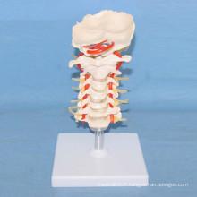 Modèle d'ossature squelette humain pour l'enseignement médical (R020703)