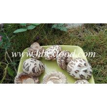 Weißes Blumen-Shiitake-Pilz-gesundes Lebensmittel