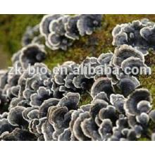 Orgânico de alta qualidade coriolus versicolor extrato em pó