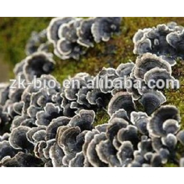 Organic high quality coriolus versicolor extract powder
