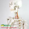 SKELETON01 (12361) Modèles anatomiques médicaux squelettiques grandeur nature de 170 cm de sciences médicales
