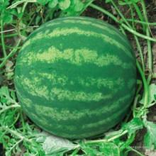 HW06 Xiaosou большой глобальный зеленый F1 гибрид бессемянного арбуза семена для посадки