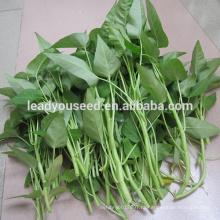 MWS01 Baijin большой лист высокой урожайности семена шпината воды для продажи