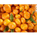 Fresh baby mandarin from Nanfeng city