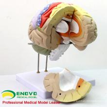 BRAIN08(12406) современное медицинское использование 2 раза в натуральную величину анатомическую модель мозга на 4 части, Анатомия модели > мозг модели