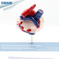 A06 (12008) Modelo de corazón de perro, modelos anatómicos de animales para referencia de veterinario 12008