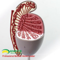 UROLOGY09(12429) Genito-Urinary System Testis Model for Medical Science Study