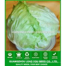 NLT051 Shebu graines de laitue rondes à haut rendement, graines de laitue iceberg de qualité