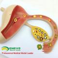 ANATOMY16 (12454) Modelo de educação médica de ovo fertilizado de corpo humano