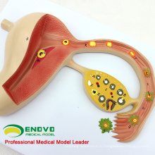 ANATOMY16(12454) человеческого тела Оплодотворяется модель медицинского образования яичка