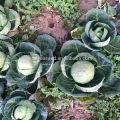 C12 Kangre 60 jours haute température résistant aux choux hybrides graines de chou