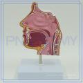 PNT-04361 modèle de dissection d'expansion de la cavité nasale pour l'hôpital