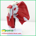 MUSCLE13(12037) Life Size Human Shoulder Joint Muscle Tendon Model for Fitness Guidance 12037