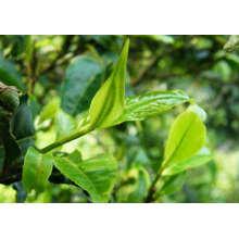 Óleo essencial de tea tree 10ml